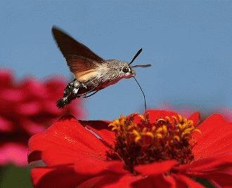 Molia colibri