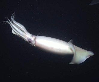 Calamarul urias (Architeuthis dux)