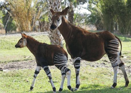 Okapi, un animal misterios (Okapia johnstoni)