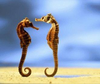 Calul de mare (Hippocampus erectus)