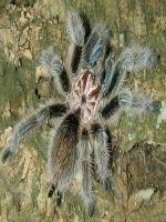 Fascinantele tarantule