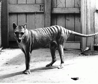 Lupul marsupial (Thylacinus cynocephalus)