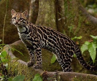 Ocelotul (Leopardus pardalis)