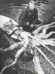 Caracatita uriasa - mit sau realitate?