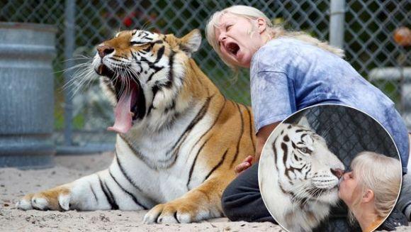 Animalele lor de casă? Doi tigri bengalezi