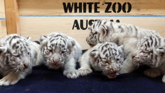 Cinci tigri albi – vedetele unei grădini zoologice
