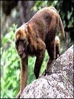 O noua specie de maimuta