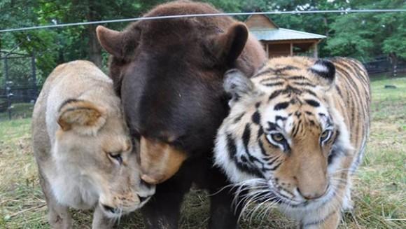 Prietenie incredibilă între un leu, un tigru şi un urs
