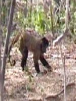 Maimutele capucin folosesc unelte