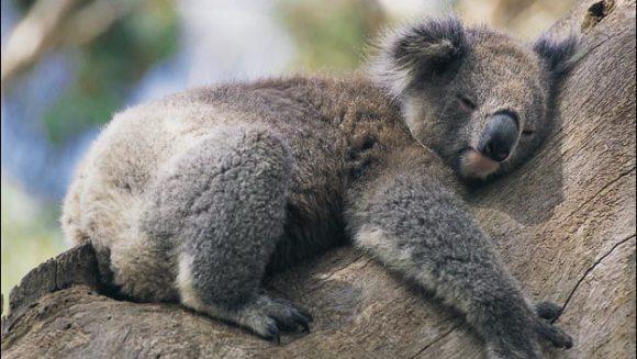 De ce îmbrăţişează Koala copacii?