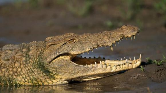 Îngrijitorul zoo atacat de un crocodil