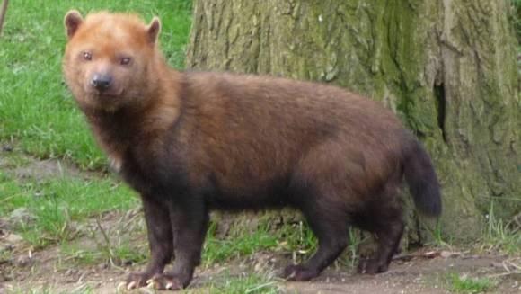 Câinele de tufiş - vulpe, urs sau bursuc?
