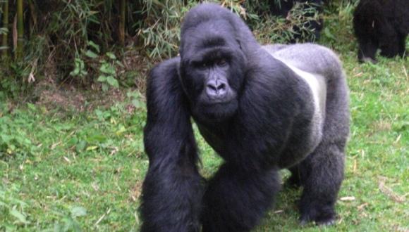 Gorilele comunică prin miros