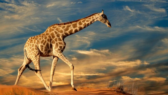 Cum de stau girafele pe nişte picioare atât de subţiri?