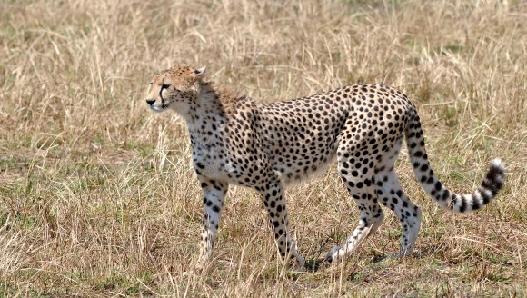 Există un animal mai rapid decât ghepardul!