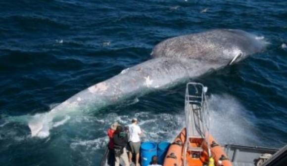 Balenele albastre, în pericol din cauza căilor navigabile