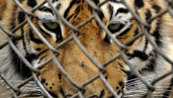 SUA: Numărul tigrilor ţinuti ca animale de companie îl depăşeşte pe cel al tigrilor din salbaticie
