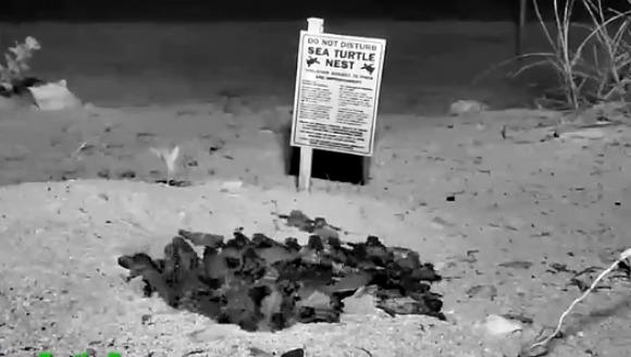 Primii paşi: Zeci de pui de ţestoasă, filmaţi când ies din ou - VIDEO