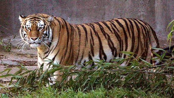 Un băieţel de 11 ani a fost muşcat de un tigru - VIDEO