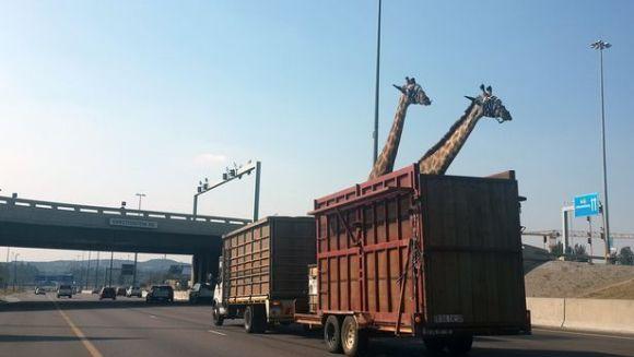 O girafă a murit după ce s-a lovit cu capul de un pod