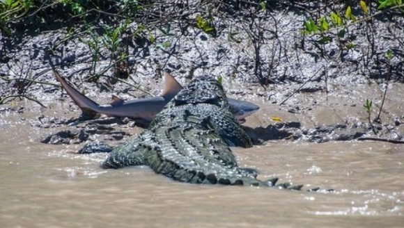 Cine e mai tare, crocodilul sau rechinul?