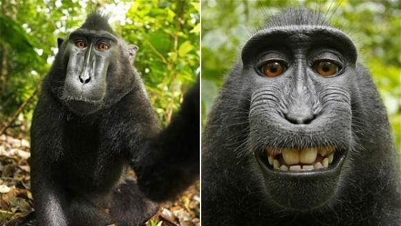 Dacă o maimuţă îşi face un selfie, cine deţine drepturile de autor?