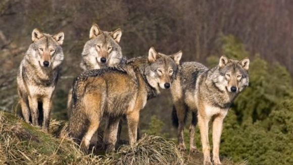 O haită de lupi flămânzi a atacat şase fermieri