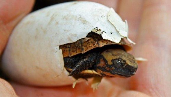 O broască ţestoasă rară a eclozat la o grădină zoologică din Marea Britanie