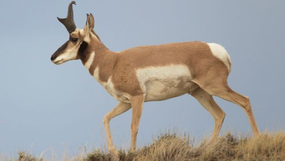 Pronghornul (Antilocapra americană) – cel mai rapid mamifer din America de Nord