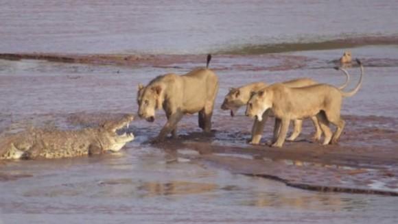 Când trei lei şi un crocodil se luptă pentru un elefant - VIDEO