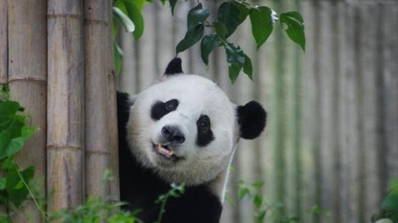 Mitomanie animală? O ursoiacă panda a mimat o sarcină pentru a primi mai multă îngrijire