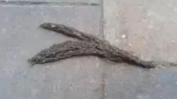 Sute de larve de ţânţari târându-se împreună precum un şarpe - VIDEO