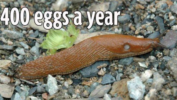 Invazie de limacşi uriaşi în Marea Britanie