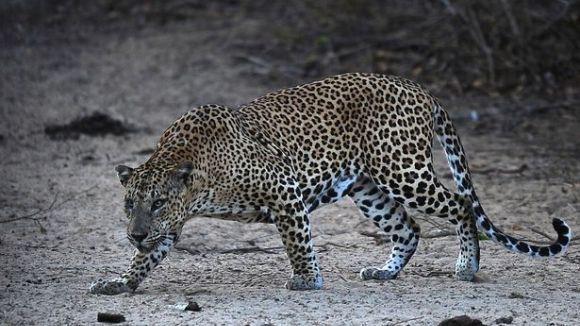 Leopardul ce terorizează sute de săteni