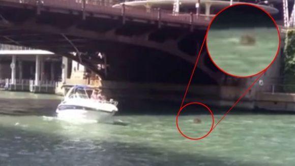 Hipopotam înotând în râul Chicago? -Video