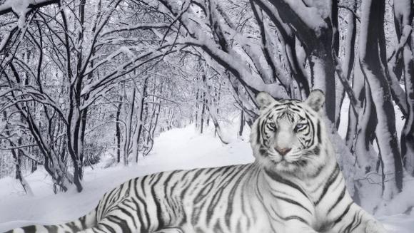 Pisici sălbatice pe cale de dispariţie - specii aflate în pericol