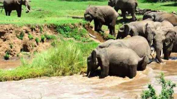 Imagini impresionante: puiul salvat de o turmă de elefanţi