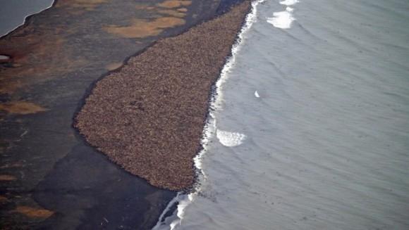 35000 de morse au eşuat pe o plajă din Alaska. Motivul? - VIDEO