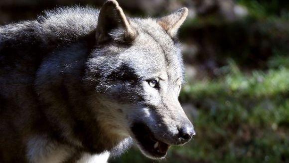 Se întorc lupii în Paris, după 200 de ani?