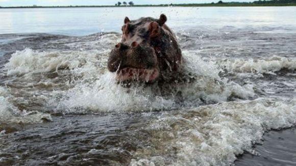 Când animalele atacă: un hipopotam nervos s-a repezit la nişte turişti - FOTO