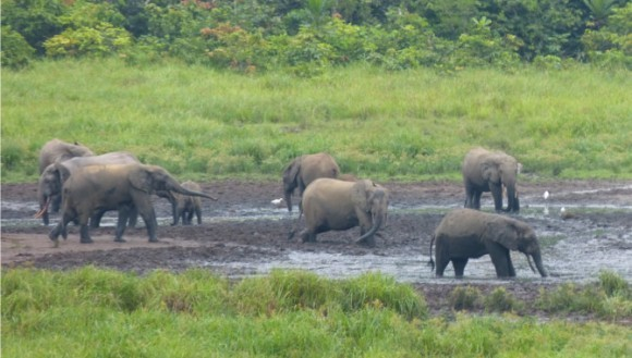 Elefanţii pot detecta ploaia de la 250 de kilometri distanţă