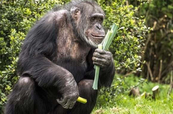 """Cimpanzei prinşi la furat. """"S-au adaptat obiceiurilor oamenilor"""" VIDEO"""