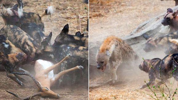 Câini sălbatici vs. hiene – cine iese învingător în lupta pentru o antilopă?