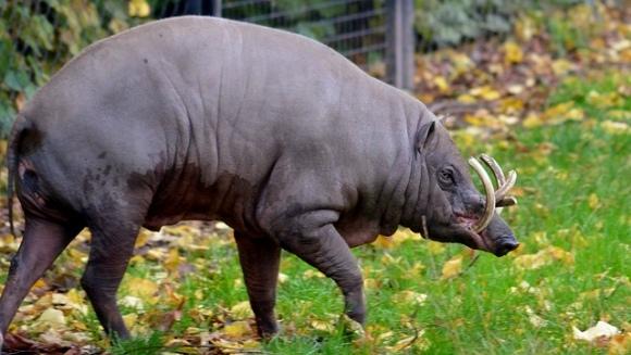 Totul despre babirusa  - porcul cerb (Babyrousa babyrussa)