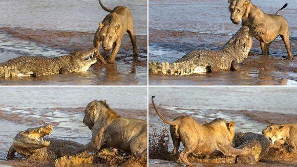 Lei versus un singur crocodil. Cine câştigă? - Galerie Foto