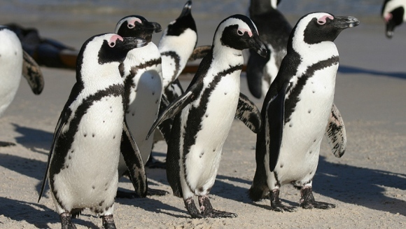Pinguinii africani, pe cale de dispariţie