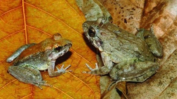 Descoperire uimitoare: reproducere nemaiîntâlnită la broaşte