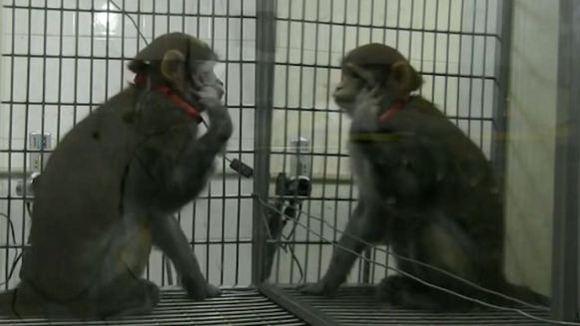 Maimuţele pot învăţa să se recunoască în oglindă - VIDEO