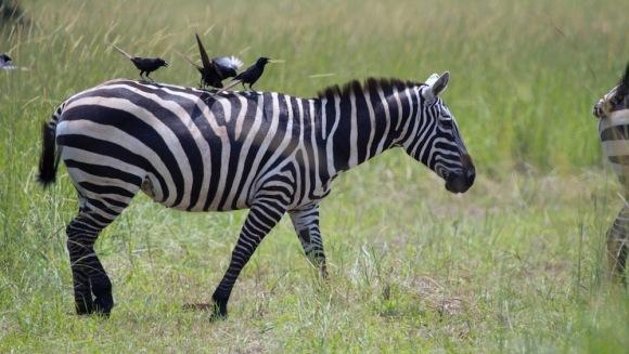 De ce au, de fapt, zebrele dungi? O nouă descoperire