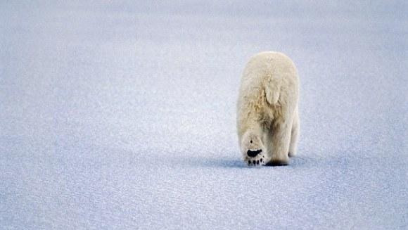 Urșii polari comunică între ei prin mirosul chimicalelor răspândit prin tălpi